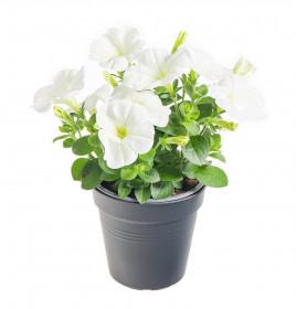 Výhodné balení 10x Potunie, bílá, velikost květináče 10 - 12 cm