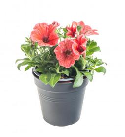 Výhodné balení 10x Potunie, světle červená, velikost květináče 10 - 12 cm