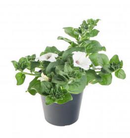Výhodné balení 10x Surfinie převislá, bílá, velikost květináče 10 - 12 cm