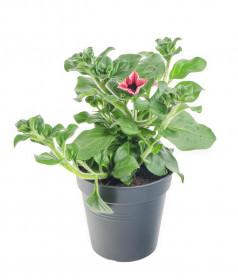 Výhodné balení 10x Surfinie převislá, červená, velikost květináče 10 - 12 cm