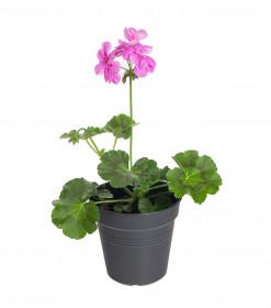 Výhodné balení 2x Muškát převislý, Pelargonium peltatum, fialový, velikost květináče 10 - 12 cm