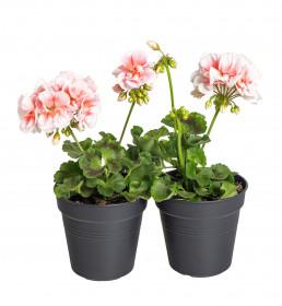 Výhodné balení 2x Muškát vzpřímený, Pelargonium zonale, bílo - oranžová, velikost květináče 10 - 12 cm