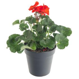 Výhodné balení 2x Muškát vzpřímený, Pelargonium zonale, červený, velikost květináče 10 - 12 cm