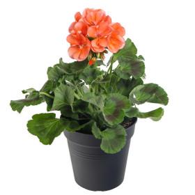 Výhodné balení 2x Muškát vzpřímený, Pelargonium zonale, oranžový, velikost květináče 10 - 12 cm