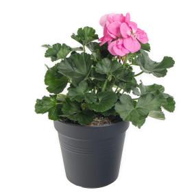 Výhodné balení 2x Muškát vzpřímený, Pelargonium zonale, světle růžový, velikost květináče 10 - 12 cm