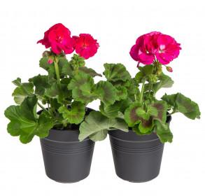 Výhodné balení 2x Muškát vzpřímený, Pelargonium zonale, tmavě růžový, velikost květináče 10 - 12 cm