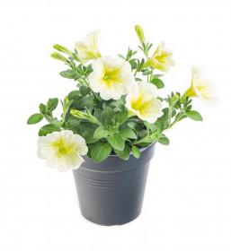 Výhodné balení 2x Potunie, bílá se žlutým žilkováním, velikost květináče 10 - 12 cm