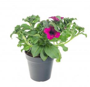 Výhodné balení 2x Surfinie převislá, tmavě růžová, velikost květináče 10 - 12 cm