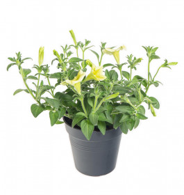 Výhodné balení 2x Surfinie převislá, žlutá, velikost květináče 10 - 12 cm