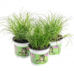 Výhodné balení 3x Kočičí tráva, Cyperus alternifolia Zumula, průměr květináče 10 - 12 cm
