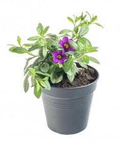 Výhodné balení 3x Minipetúnie, Million Bells, fialová, velikost květináče 10 - 12 cm