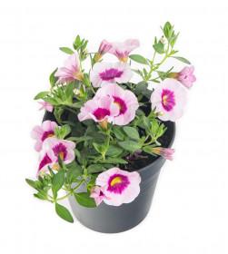 Výhodné balení 3x Minipetúnie, Million Bells, světle růžová, velikost květináče 10 - 12 cm