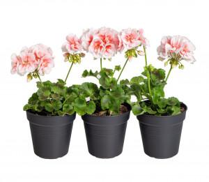 Výhodné balení 3x Muškát vzpřímený, Pelargonium zonale, bílo - oranžová, velikost květináče 10 - 12 cm