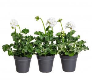 Výhodné balení 3x Muškát vzpřímený, Pelargonium zonale, bílý, velikost květináče 10 - 12 cm