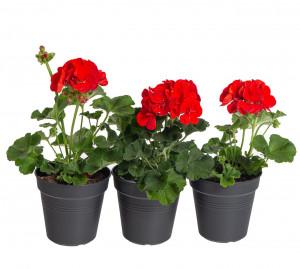 Výhodné balení 3x Muškát vzpřímený, Pelargonium zonale, červený, velikost květináče 10 - 12 cm