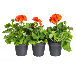 Výhodné balení 3x Muškát vzpřímený, Pelargonium zonale, oranžový, velikost květináče 10 - 12 cm