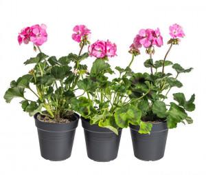 Výhodné balení 3x Muškát vzpřímený, Pelargonium zonale, světle růžový, velikost květináče 10 - 12 cm