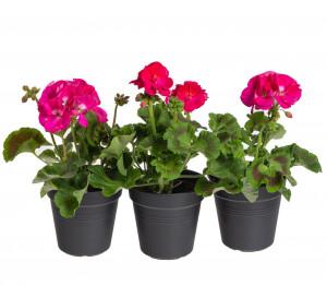 Výhodné balení 3x Muškát vzpřímený, Pelargonium zonale, tmavě růžový, velikost květináče 10 - 12 cm