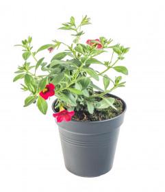 Výhodné balení 5x Minipetúnie, Million Bells, červená, velikost květináče 10 - 12 cm