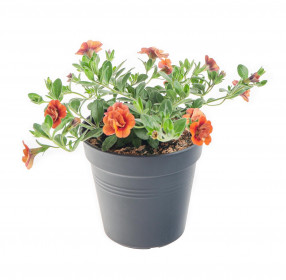 Výhodné balení 5x Minipetúnie, Million Bells, oranžová, velikost květináče 10 - 12 cm