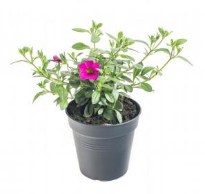 Výhodné balení 5x Minipetúnie, Million Bells, tmavě růžová, velikost květináče 10 - 12 cm