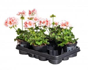 Výhodné balení 5x Muškát vzpřímený, Pelargonium zonale, bílo - oranžová, velikost květináče 10 - 12 cm