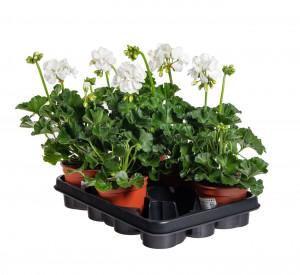 Výhodné balení 5x Muškát vzpřímený, Pelargonium zonale, bílý, velikost květináče 10 - 12 cm