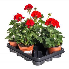 Výhodné balení 5x Muškát vzpřímený, Pelargonium zonale, červený, velikost květináče 10 - 12 cm