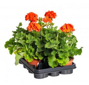 Výhodné balení 5x Muškát vzpřímený, Pelargonium zonale, oranžový, velikost květináče 10 - 12 cm