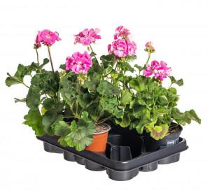 Výhodné balení 5x Muškát vzpřímený, Pelargonium zonale, světle růžový, velikost květináče 10 - 12 cm