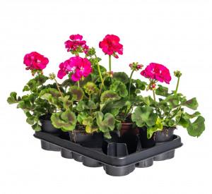 Výhodné balení 5x Muškát vzpřímený, Pelargonium zonale, tmavě růžový, velikost květináče 10 - 12 cm