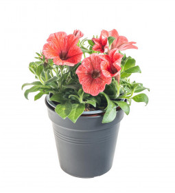 Výhodné balení 5x Potunie, světle červená, velikost květináče 10 - 12 cm
