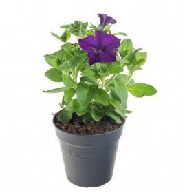 Výhodné balení 5x Surfinie převislá, modrá, velikost květináče 10 - 12 cm