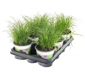 Výhodné balení 6x Kočičí tráva, Cyperus alternifolia Zumula, průměr květináče 10 - 12 cm