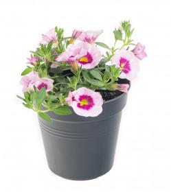 Výhodné balení 6x Minipetúnie, Million Bells, světle růžová, velikost květináče 10 - 12 cm