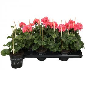 Výhodné balení 6x Muškát převislý, Pelargonium peltatum, oranžový, velikost květináče 10 - 12 cm