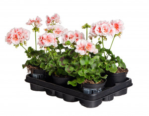 Výhodné balení 6x Muškát vzpřímený, Pelargonium zonale, bílo - oranžová, velikost květináče 10 - 12 cm