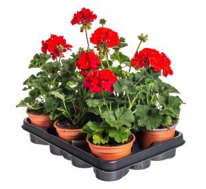 Výhodné balení 6x Muškát vzpřímený, Pelargonium zonale, červený, velikost květináče 10 - 12 cm