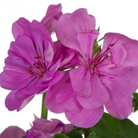 Výhodné balení 6x Muškát vzpřímený, Pelargonium zonale, fialový, velikost květináče 10 - 12 cm