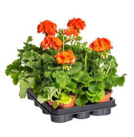 Výhodné balení 6x Muškát vzpřímený, Pelargonium zonale, oranžový, velikost květináče 10 - 12 cm