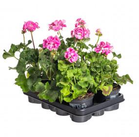 Výhodné balení 6x Muškát vzpřímený, Pelargonium zonale, světle růžový, velikost květináče 10 - 12 cm