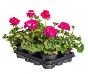 Výhodné balení 6x Muškát vzpřímený, Pelargonium zonale, tmavě růžový, velikost květináče 10 - 12 cm