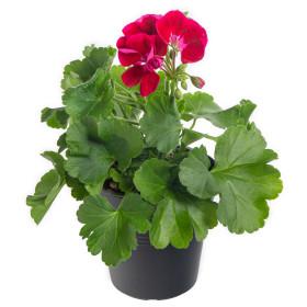 Výhodné balení 6x Muškát vzpřímený, Pelargonium zonale, vínový, velikost květináče 10 - 12 cm