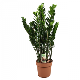 Zamioculcas zamiifolia - Kulkas zamiolistý