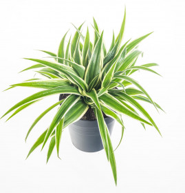 Zelenec, Chlorophytum comosum Ocean, průměr květináče 10cm