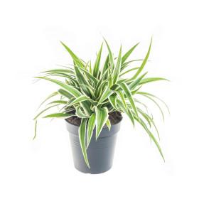 Zelenec, Chlorophytum comosum Ocean, průměr květináče 12cm