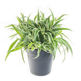 Zelenec, Chlorophytum comosum Ocean, průměr květináče 15 cm