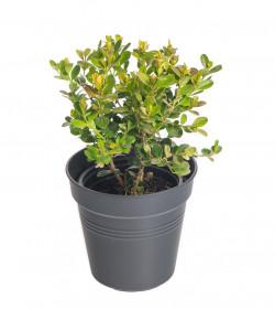 Zimostráz obecný, Buxus sempervirens, průměr kontejneru 9 cm