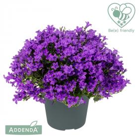 Zvonek, Campanula Ambella Intense Purple, tmavě fialový